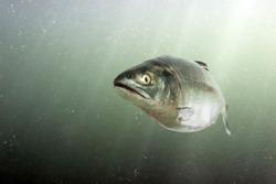 Chum salmon in the sea. Underwater view