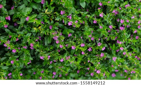 Chupea hyssopifolia, the false heather, mexican heather, hawaian heather or elfin herb. is a small evergreen shurb. Selective focus. #1558149212