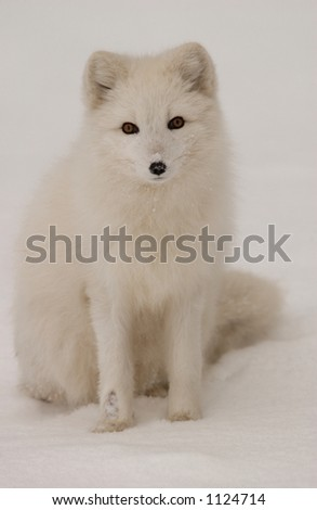 Churchill Northern Manitoba town and surroundings  Arctic Fox