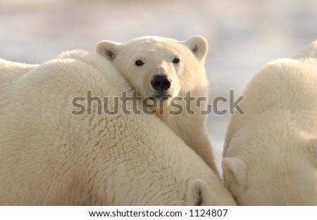 Churchill Northern Manitoba town and surroundings Polar Bear
