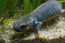 Chuxiong fire-bellied or blue - tailed fire belied newt, Cynops cyanurus is a small but very colorful caudate that can become actually quite blue