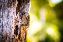 Cicada Bug. Cicada insect. Cicada stick on tree at the park of thailand Tremendous musical abilities of cicada. insect sings beautifully and prefers a warm climate