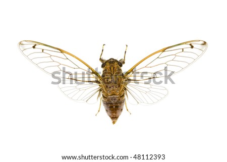 Cicada, cicadidae, australian species, isolated on white