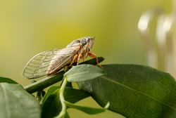 Cicada Euryphara,  known as european Cicada, sitting on a twig with a green background. Insect sings beautifully and prefers a warm climate. Selective focus.