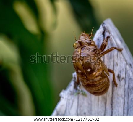 Cicada Exoskeleton Clinging to Wood