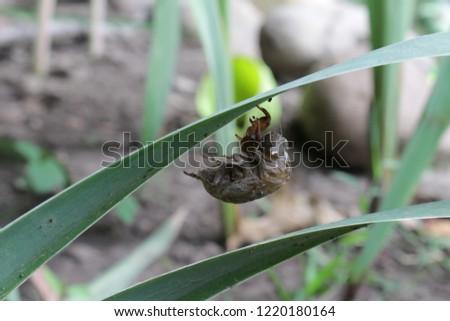 Cicada exoskeleton hanging onto green leaf