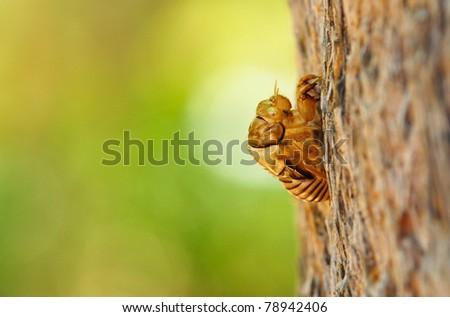Cicada exoskeleton skin - stock photo
