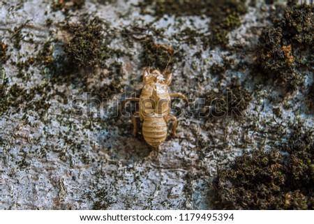 Cicada exuviae, exoskeleton remains