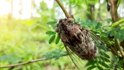 Cicada insect,Cicada Macro,Cicada sits on a branch in natural habitat.