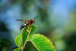 Cicada Killer (Sphecius speciosus) wasp