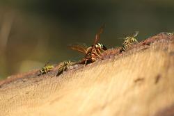 Cicada killer wasp and yellow jacket wasps enjoying sap from a freshly cut tree