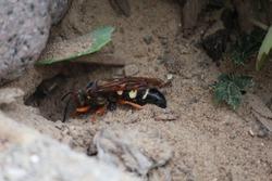 Cicada killer wasp burrowing