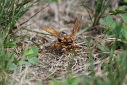Cicada killer wasp in late summertime
