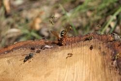 Cicada killer wasp, yellow jacket wasps, a black jacket wasp and carpenter ants feeding on sap from a cut tree