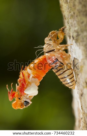 cicada molting process shedding it's exoskeleton