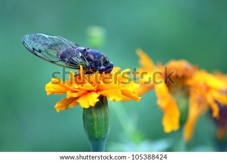Cicada on a Flower