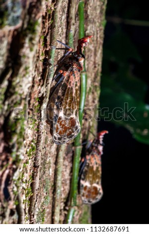 Cicada photographed in the city of Cariacica, Espirito Santo, Southeast of Brazil. Atlantic Forest Biome. Picture made in 2012.