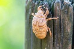 Cicada Shell - Taken at Ocean Beach, Umina on the Central Coast of NSW, Australia.