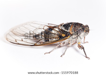 cicada side view, isolated on white background