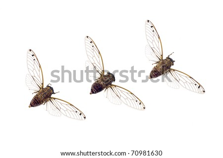 Cicadas in a row, cicadidae, Australian species, wingspan 60mm