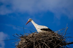 Ciconia Ciconia. White stork resting in its nest