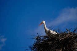 Ciconia Ciconia. White stork resting in nest