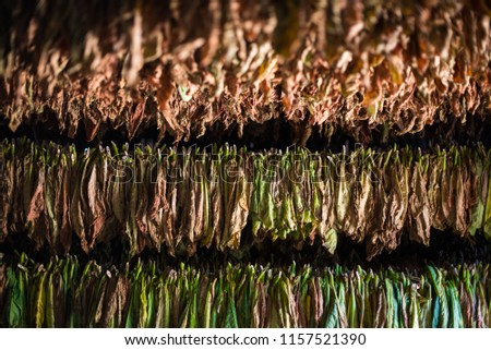 Cigar tobacco drying on a plantation in Vinales, Cuba