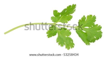 cilantro branch
