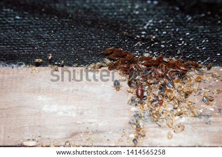 Cimex lectularius or bedbugs infest a wooden bed frame in city centre apartment building while being revealed by a pest control professional prior to treatment with pesticides.