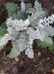 Cineraria Silvery - a beautiful flower for a flower bed and an alpine hill.