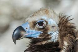Cinereous Vulture (Aegypius monachus) in zoo