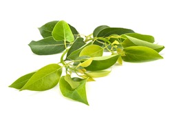 Cinnamomum camphora in front of white background