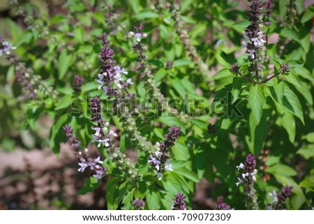 Cinnamon basil or Thai basil (Ocimum basilicum) leaves and flowers Zdjęcia stock ©