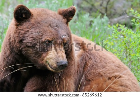 Cinnamon Black Bear in Yellowstone National Park