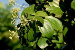 Cinnamon, Cassia (Cinnamomum spp.) Leaves and flowers on tree in the herbal garden.