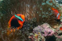 Cinnamon clownfish, fire clownfish, red and black anemonefish, black-backed anemonefish or dusky anemonefish (Amphiprion melanopus) Mindoro, Philippines