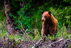 Cinnamon color Black bear,Yellowstone National Park, WY