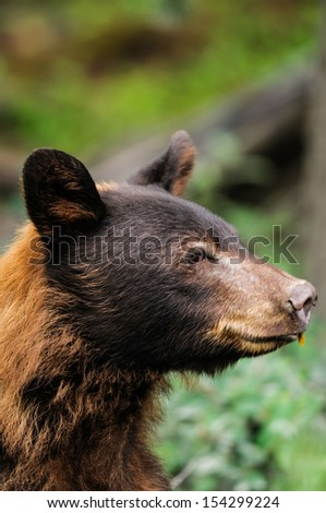 Cinnamon coloured Black Bear feeding on berries, Kananaskis Country Alberta Canada - stock photo