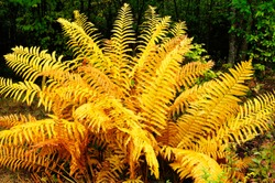 Cinnamon Fern, Fall color along the Highland Scenic Highway, Route 150, National Scenic Byway, Pocahontas County, West Virginia, USA