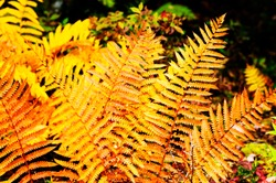 Cinnamon Fern, Fall color, Monongahela National Forest, Webster County, West Virginia, USA