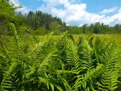 Cinnamon fern (Osmunda cinnamomea) growing in the wetlands of Cranesville Swamp Preserve in West Virginia on a sunny day.