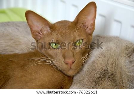 Cinnamon Oriental Short-hair Cat