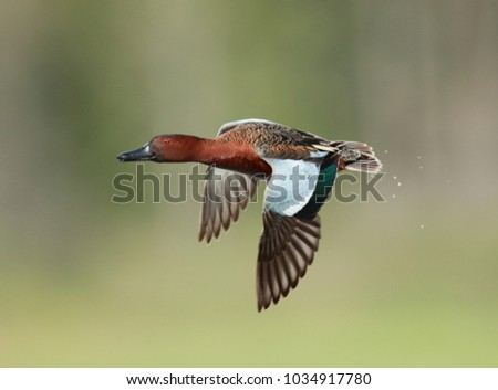 Cinnamon Teal flying with a blurred background #1034917780
