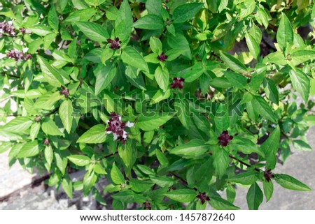 Cinnamon tree Also called basil tree (scientific name: Ocimum basilicum), is a species of multicolored aromatic herbs in the flower In Vietnam, cinnamon with its name is also called basil, cinnamon... Zdjęcia stock ©