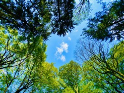 Circle of tree crowns of different species both deciduous and conifers green foliage and shadows and patch of blue sky with small white cloud in the middle shot from below