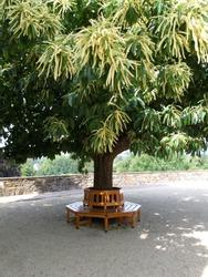 Circular wooden tree bench around trunk of sweet chestnut tree