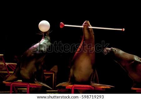 circus sea lion seal while...