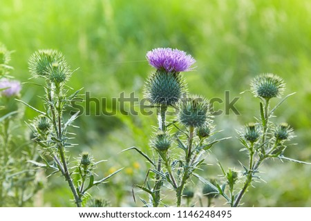 Cirsium vulgare, Spear thistle, Bull thistle, Common thistle, short lived thistle plant with spine tipped winged stems and leaves, pink purple flower heads #1146248495