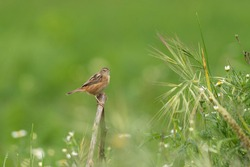 Cisticola juncidis tiny warbler bird perched in green grassland habitat