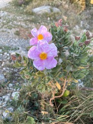 Cistus Albidus flower, a powerful anti-virus and a natural aid for immune system. It's one of the richest plants in POLYPHENOLS like Japanese knotweed (Resveratrol). It is a very powerful antioxid.